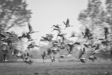 Flock of flying cranes - HACF000221