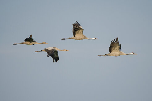 Four flying cranes - HACF000223