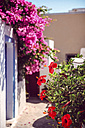 Greece, Cyclades, Santorini, Oia, blossoming Chinese hibiscus, Hibiscus rosa-sinensis - EH000017