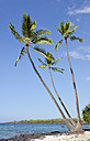 USA, Hawaii, Big Island, Honaunau-Napoopoo, three palms, Arecaceae, at the beach - BRF000967