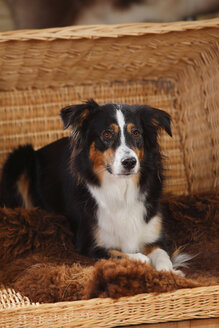 Portrait of Miniature Australian Shepherd lying in a basket - HTF000602