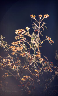 Spain, Andalusia, Huelva, Canary clover at nature park - EHF000056