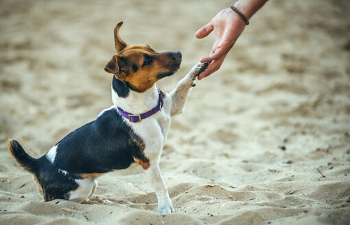 Jack Russell Terrier giving the leg - EHF000053
