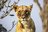 Botswana, Okavango Delta, portrait of lioness - HHF005001