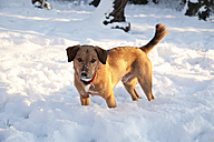 Dog in snow - NDF000508