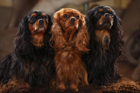 Cavalier King Charles Spaniel, group, black-and-tan and ruby - HTF000612