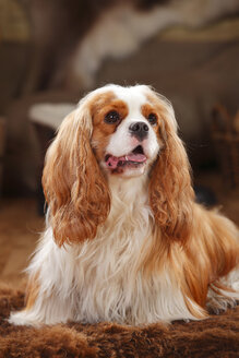 Cavalier King Charles Spaniel, blenheim, male dog - HTF000615
