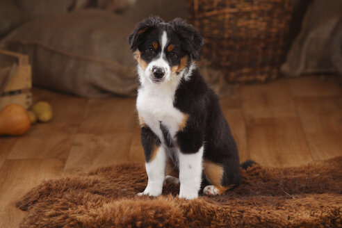 Australian Shepherd, puppy, black-tri, sitting on fur blanket - HTF000625