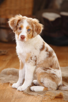 Miniature Australian Shepherd, puppy, red-merle - HTF000636