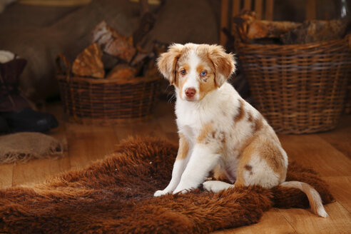 Miniature Australian Shepherd, puppy, red-merle, sitting on fur blanket - HTF000639