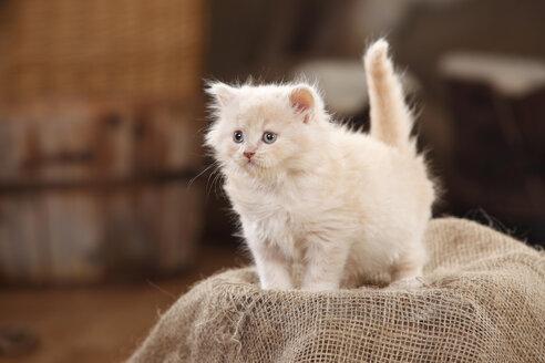 British Longhair Cat, kitten, cream, standing on jute - HTF000647