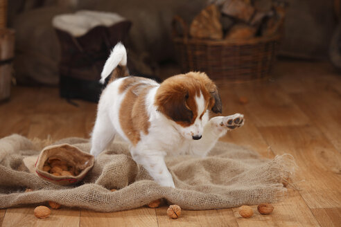 Kooikerhondje puppy playing with walnuts - HTF000660