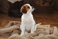 Kooikerhondje puppy sitting on jute watching something - HTF000661