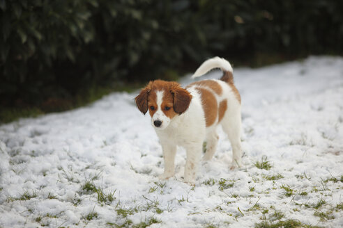 Kooikerhondje puppy standing on snow- covered meadow - HTF000667