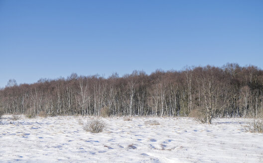 Belgium, High Fens, winter landscape with birch forest - HLF000834