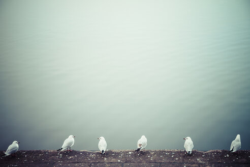 Row of six seagulls in front of water - KRPF001169