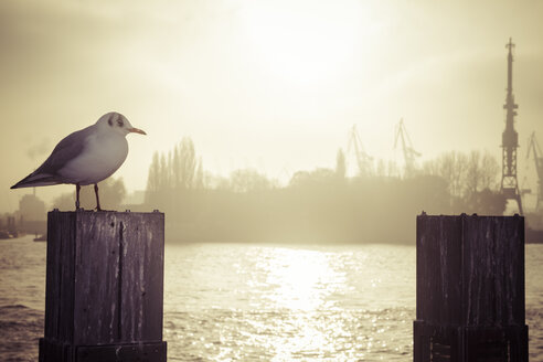 Germany, Hamburg, seagull on pole at backlight - KRPF001213
