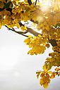 Germany, Hamburg, Yellow autumn foliage - KRPF001249