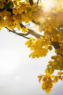 Germany, Hamburg, Yellow autumn foliage - KRPF001249