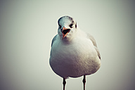Germany, Screaming seagull - KRPF001219