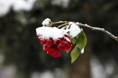 Germany, roses in winter - JTF000609