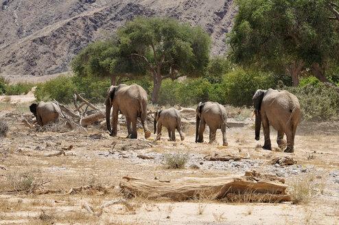 Namibia, Kunene Province, Kaokoland, five African elephants in the Namib Desert - ESF001509