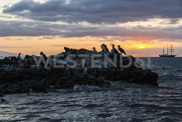 Ecuador, Galapagos Islands, Isabela, blue-footed boobies on rock at sunset - FOF007352 - Fotofeeling/Westend61