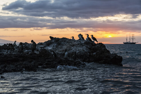 Ecuador, Galapagos Islands, Isabela, blue-footed boobies on rock at sunset - FOF007352