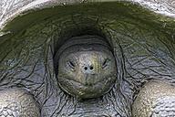 Ecuador, Galapagos Islands, snoozing Galapagos tortoise - FOF007389