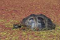 Ecuador, Galapagos Islands, Galapagos tortoise covered with plants in a lagoon - FOF007394