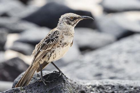 Ecuador, Galapagos Islands, Santa Cruz, Punta Suarez, Galapagos mockingbird - FOF007398