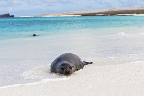 Ecuador, Galapagos Islands, Espanola, Gardner Bay, sea lion lying in water at seafront - FOF007407