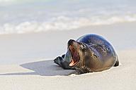 Ecuador, Galapagos Islands, Espanola, Gardner Bay, yawning sea lion lying on sandy beach at seafront - FOF007414