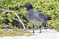 Ecuador, Galapagos Islands, Genovesa,  lava gull - FOF007437