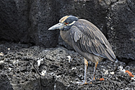 Ecuador, Galapagos Islands, Santiago, Puerto Egas, lava heron on a rock - FOF007446