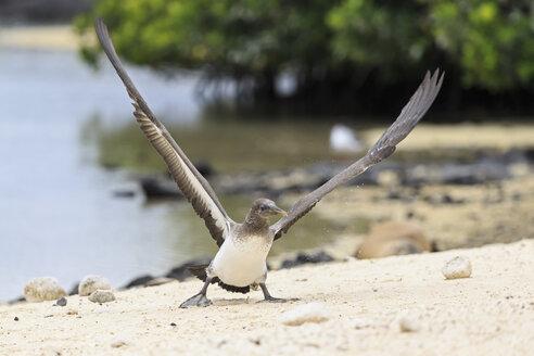 Ecuador, Galapagos Islands, Genovesa, Darwin Bay, young Nazca booby spreading wings - FOF007459
