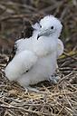 Ecuador, Galapagos Islands, Seymour Norte, young magnificent frigatebird in nest - FOF007477