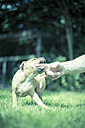 Playful puppy biting finger on a meadow - NNF000334
