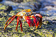 Ecuador, Galapagos Islands, Santiago, red rock crab - FO007491