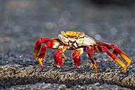 Ecuador, Galapagos Islands, Fernandina, red rock crab - FOF007499