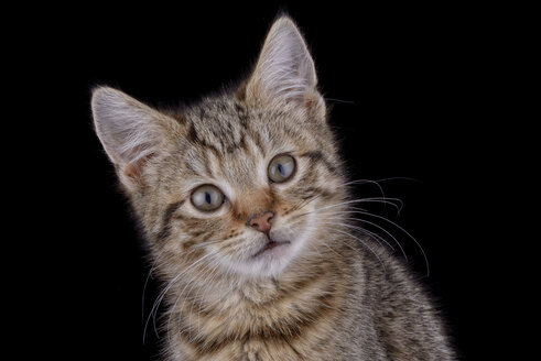 Tabby cat in front of black background - MJOF000924