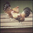 Two cocks - CSTF000755