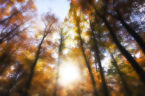 Germany, Forest in autum against the sun - JTF000615