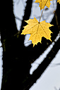 Yellow autumn leaves of maple tree - EJWF000632
