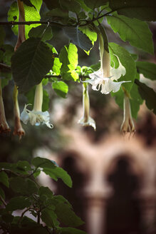 Blossoms of angel's trumpet - EHF000074