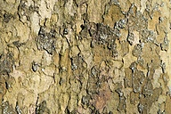 Bark of plane tree - ELF001463