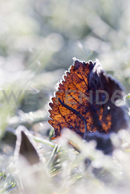 Germany, frozen leaf in grass - SARF001268