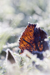 Germany, frozen leaf in grass - SARF001268