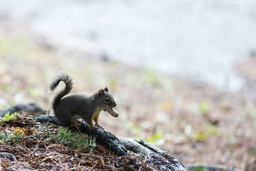 Canada, Vancouver, squirrel with peanut in mouth - NGF000179
