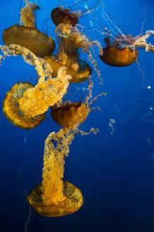 Canada, Vancouver Aquarium, Mauve stinger jellyfish - NGF000177